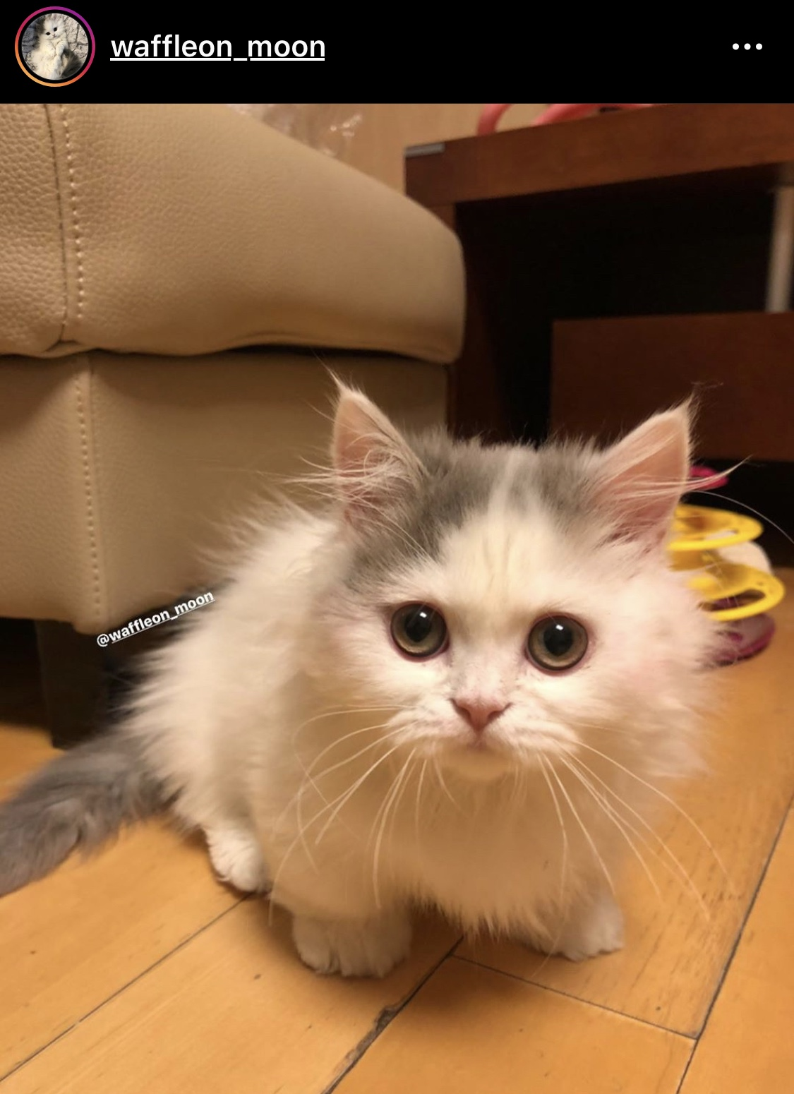 Picture of a fluffy white kitten looking into the camera